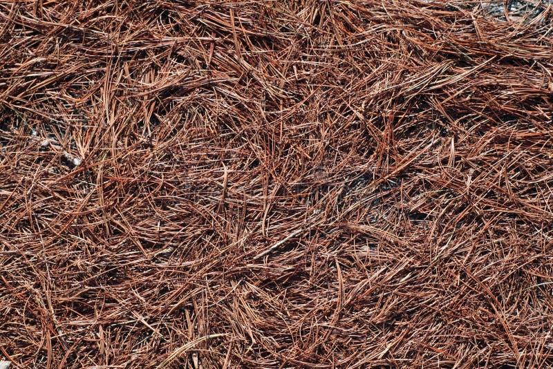 Download сосенка игл стоковое изображение. изображение насчитывающей сух - 479047
