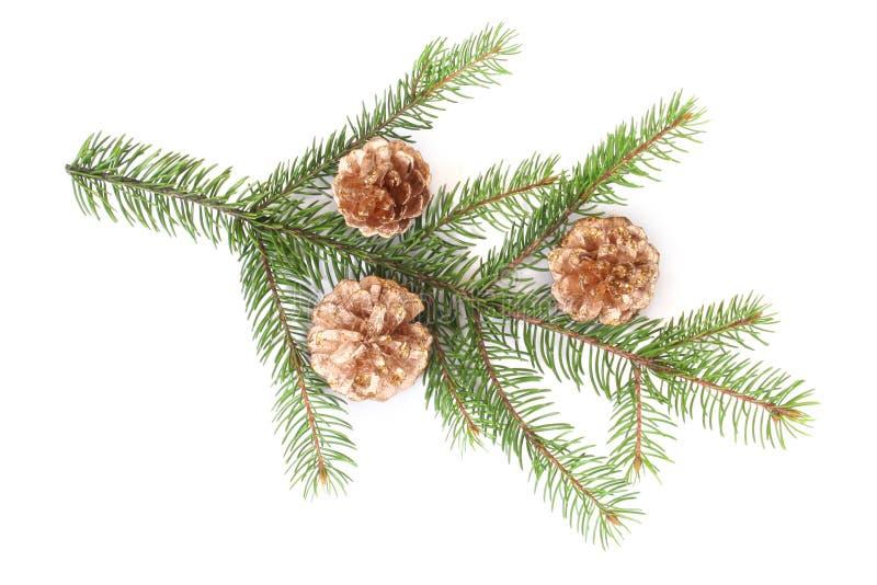 сосенка изолированная ветвью стоковое изображение