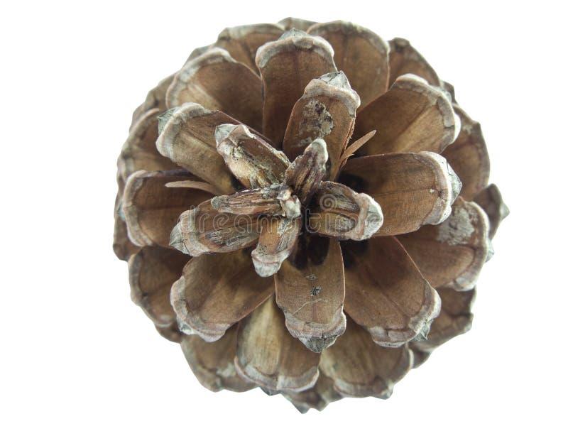 сосенка конуса стоковое изображение