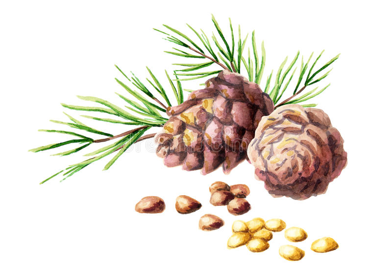 сосенка конусов nuts акварель иллюстрация вектора