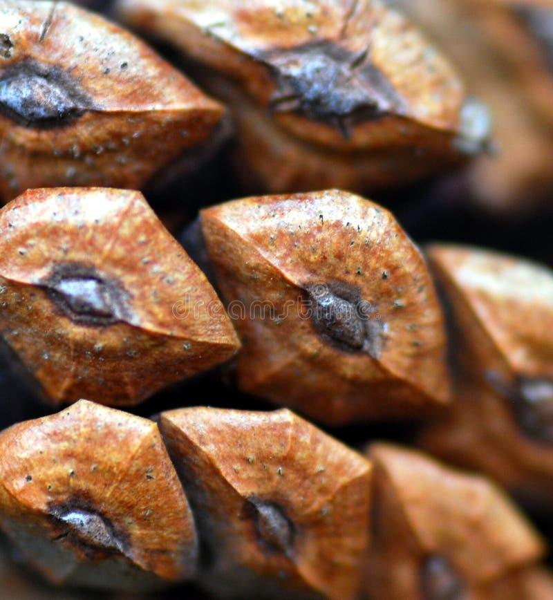 сосенка макроса конуса стоковая фотография