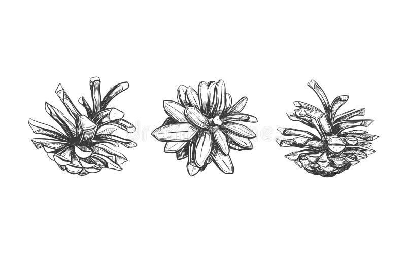 сосенка предпосылки близким изолированная конусом вверх по белизне Иллюстрация вектора нарисованная рукой Изолированные предметы  иллюстрация штока