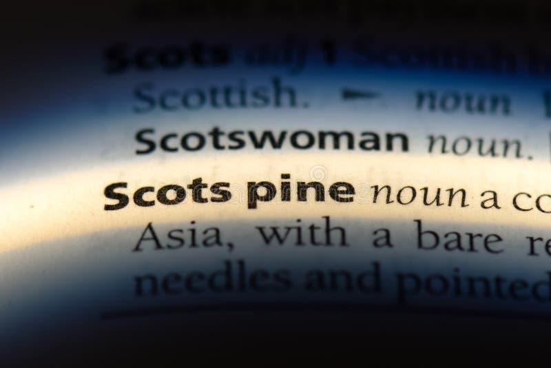 сосенка scots стоковое фото rf