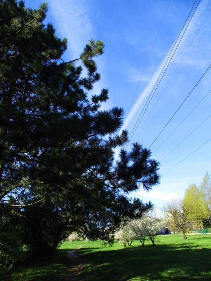 Сосна и небо весны стоковая фотография