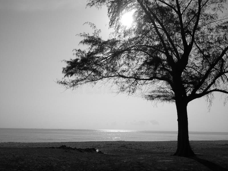 Сосна на пляже Samila, Songkhla, южное Таиланда стоковые фото