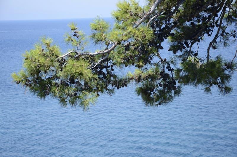 Сосна около моря стоковое фото rf