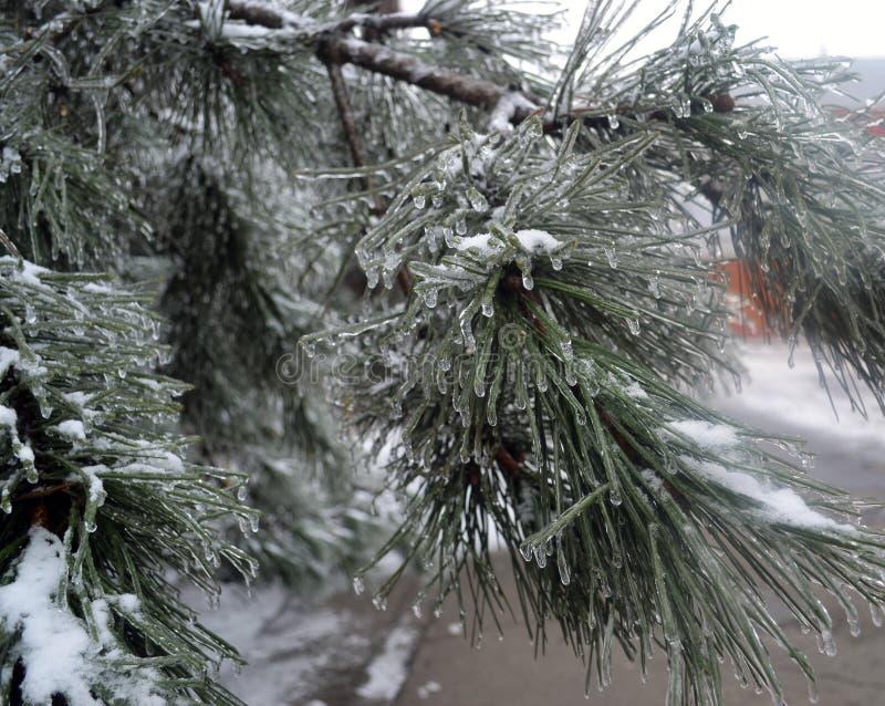 Сосна покрытая с льдом стоковое изображение rf