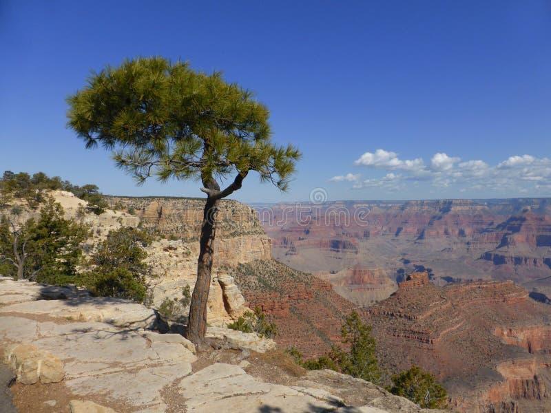 Сосна Pinyon на гранд-каньоне стоковое изображение rf