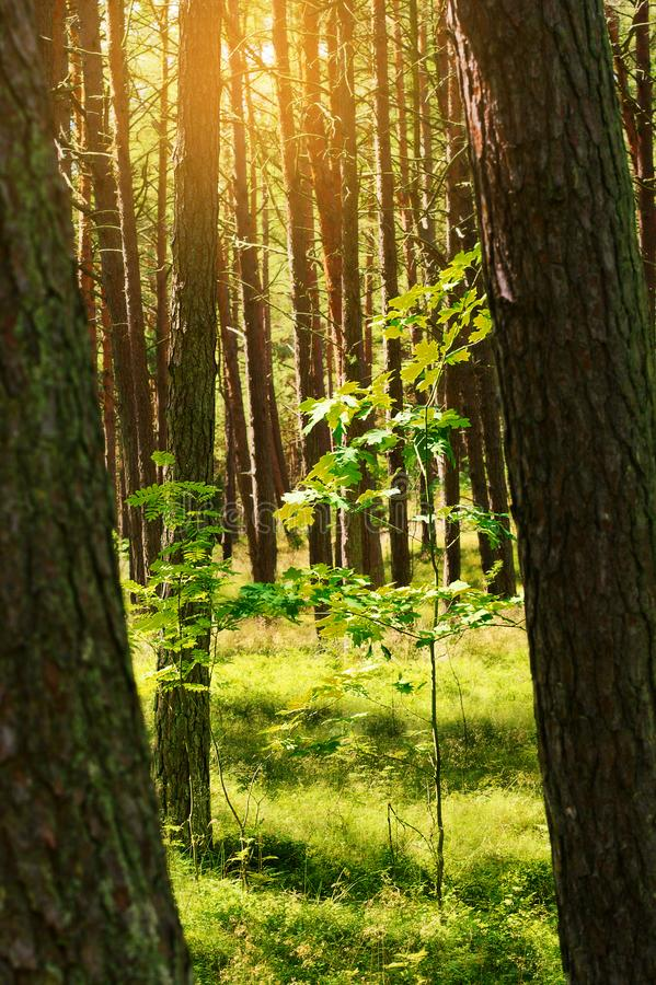 Сосновая древесина лета с молодым дубом Деревья sylvestris Pinus Scots или шотландской сосны в вечнозеленом coniferous лесе стоковые изображения rf