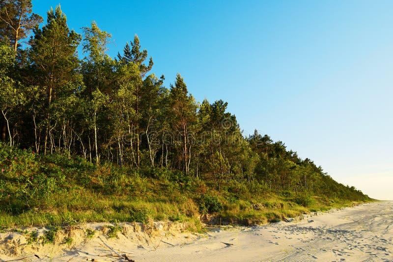 Сосновая древесина растя на дюнах на прибалтийских деревьях sylvestris Pinus Scots или шотландской сосны побережья в вечнозеленом стоковые изображения rf