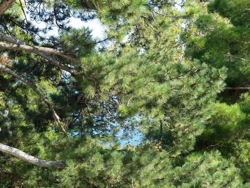 Сосновые ветки Крымской сосны на фоне голубого моря Высота дерева 20-30 до 45 м стоковое фото rf