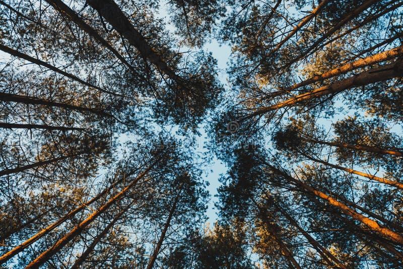 Сосновые Деревья, Которое Видно Из Лягушки стоковое изображение