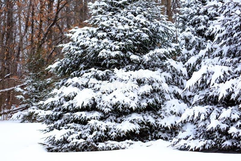 Сосновые деревья, покрытые снегом в снежном одеяле в Висконсине стоковое изображение