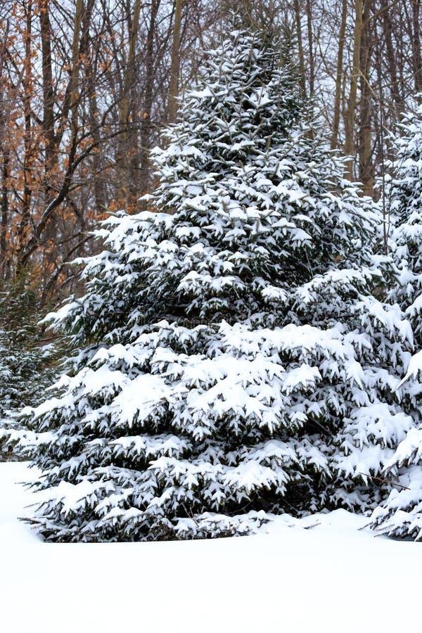 Сосновые деревья, покрытые снегом в снежном одеяле по вертикали Висконсина стоковые изображения rf