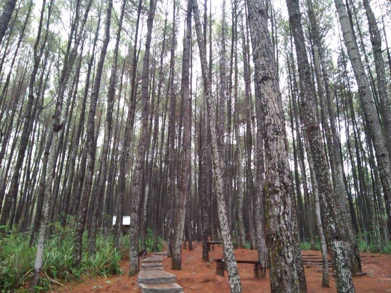 Сосновые леса которые имеют много разнообразий стоковые изображения