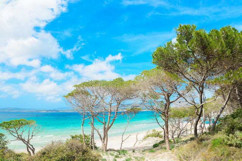 Сосновый лес берегом в пляже Pia Марии стоковое изображение rf