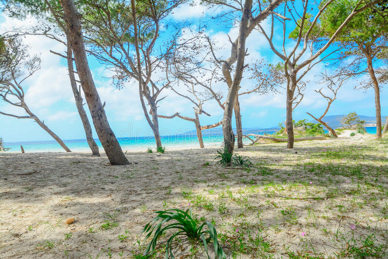 Сосновый лес берегом в пляже Pia Марии стоковые фото