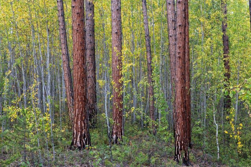 Сосновый лес в цветах осени стоковое фото