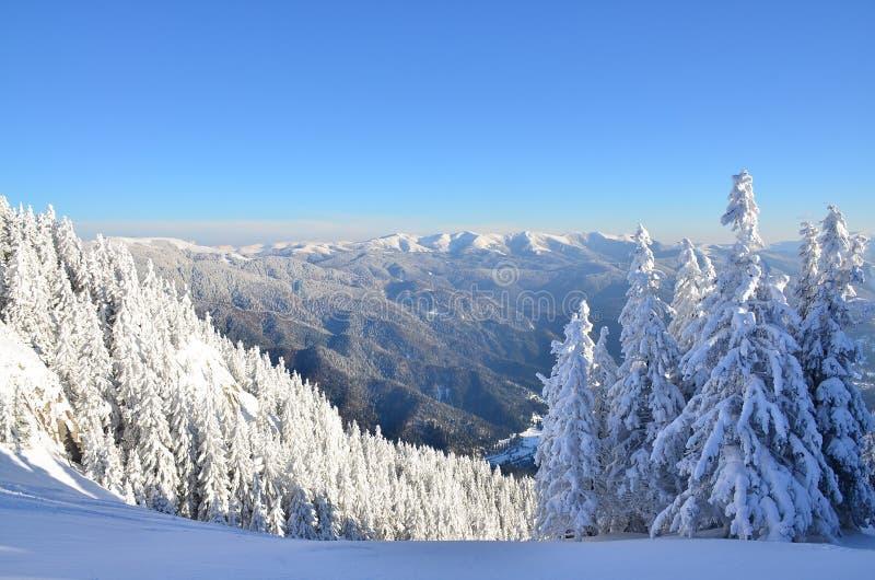 Сосновый лес зимы стоковое изображение