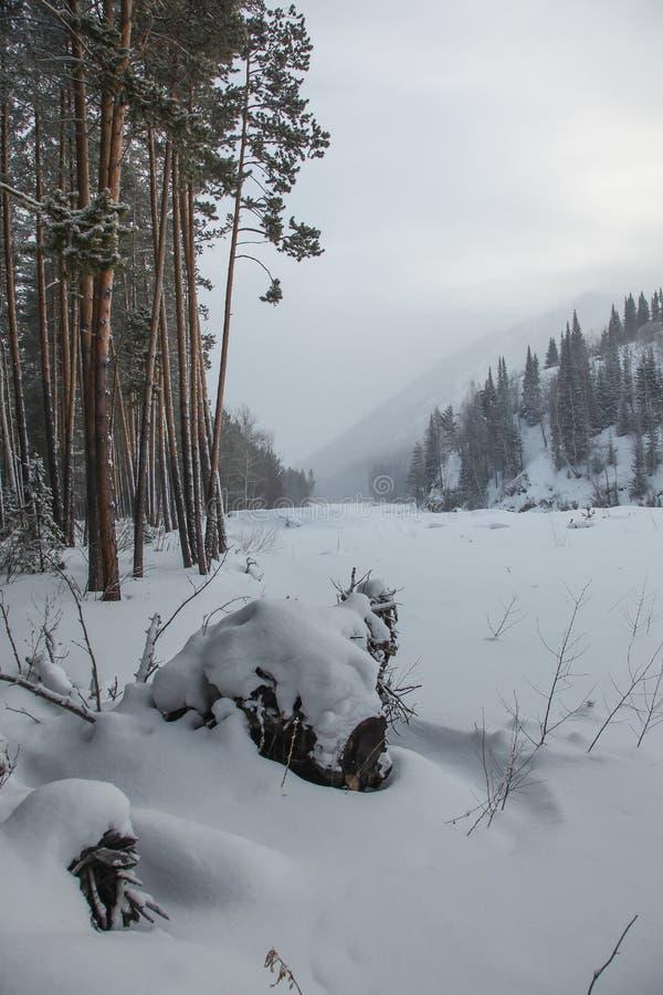 Сосновый лес около замороженного реки стоковое изображение