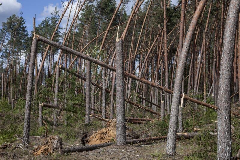Сосновый лес после шторма стоковые фото