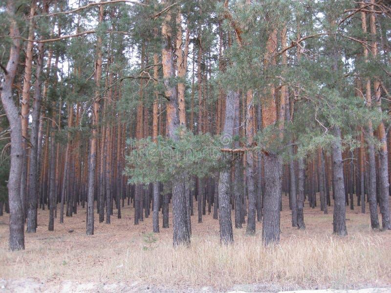 Сосновый лес стоковая фотография rf