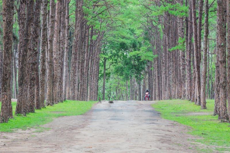 сосновый лес, bor Kaew сына Suan на Чиангмае ТАИЛАНДЕ, невиденном Th стоковая фотография