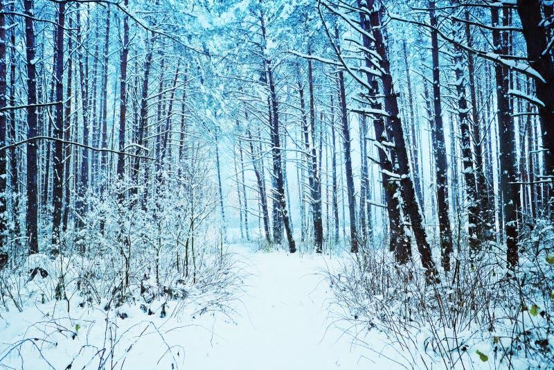 Сосновый лес Snowy стоковое фото rf