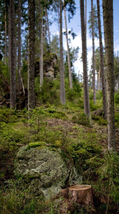Сосновый лес в летнее время Чехии стоковые изображения rf