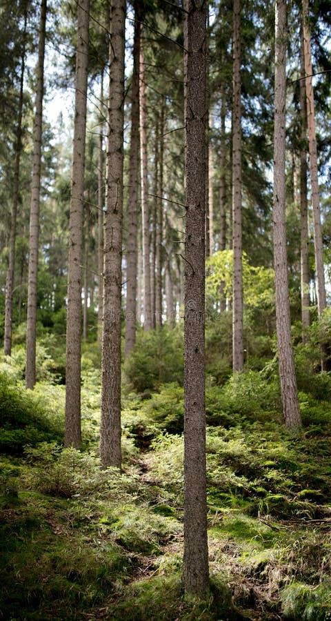 Сосновый лес в летнее время Чехии стоковая фотография
