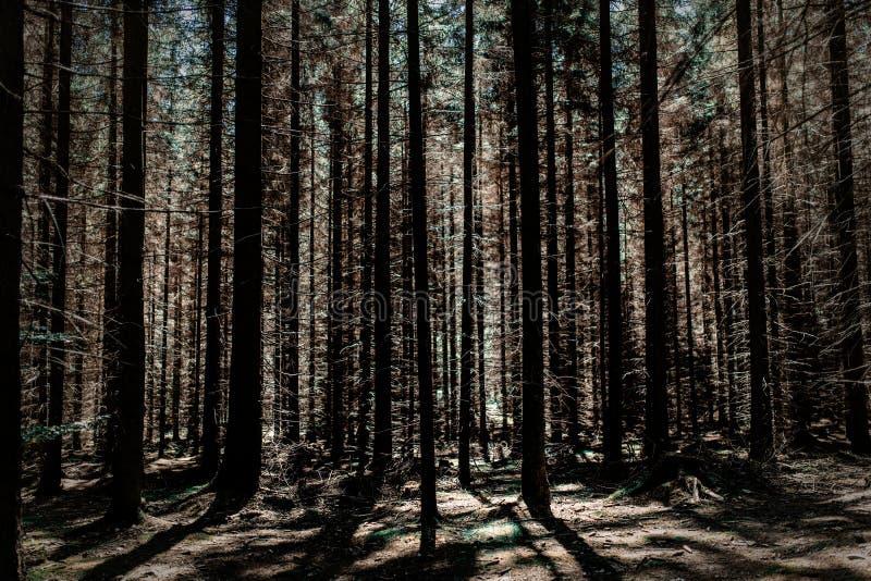 Сосновый лес в летнее время Чехии стоковое изображение rf