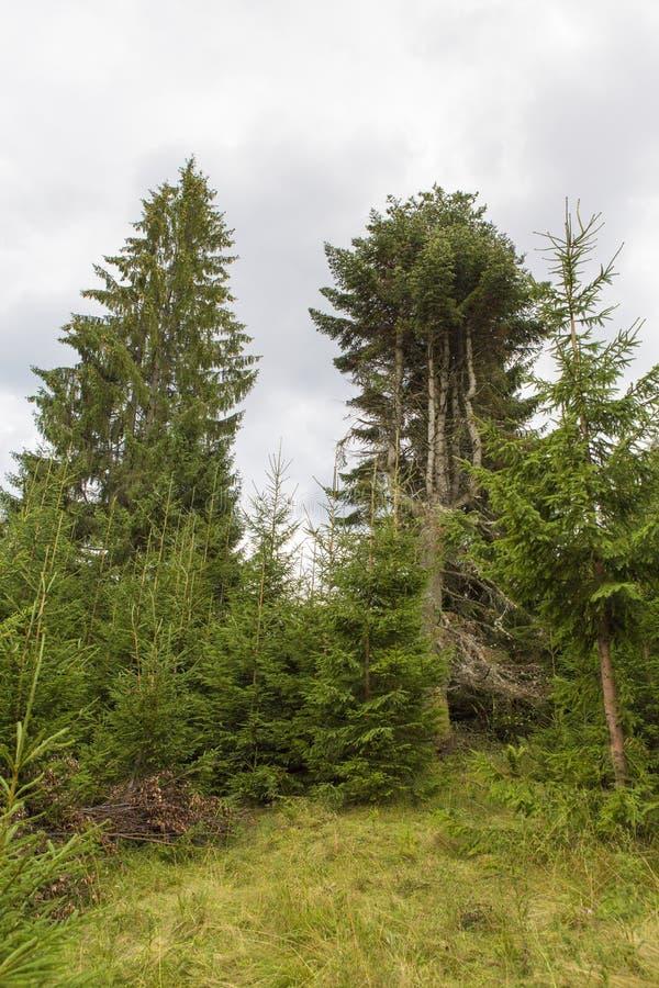 Сосновый лес летом около города Toplita стоковое фото rf