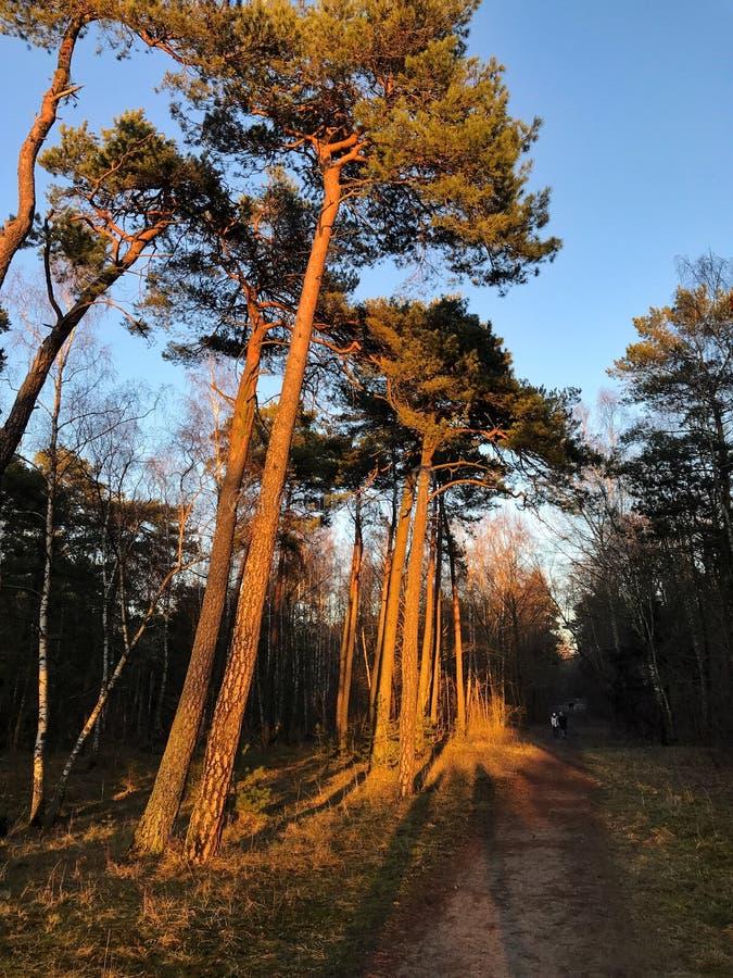 Сосновый лес освещенный вверх солнцем стоковые изображения rf