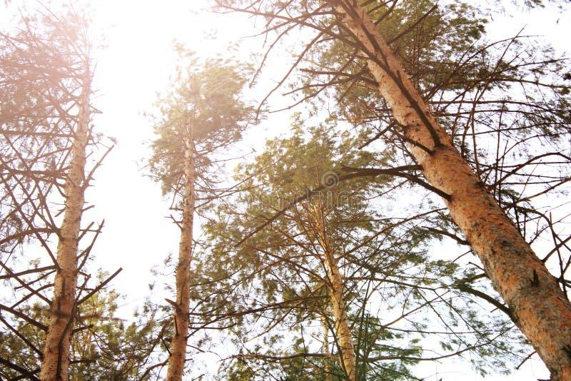 Сосновый лес под темносиним небом, заходом солнца стоковая фотография rf