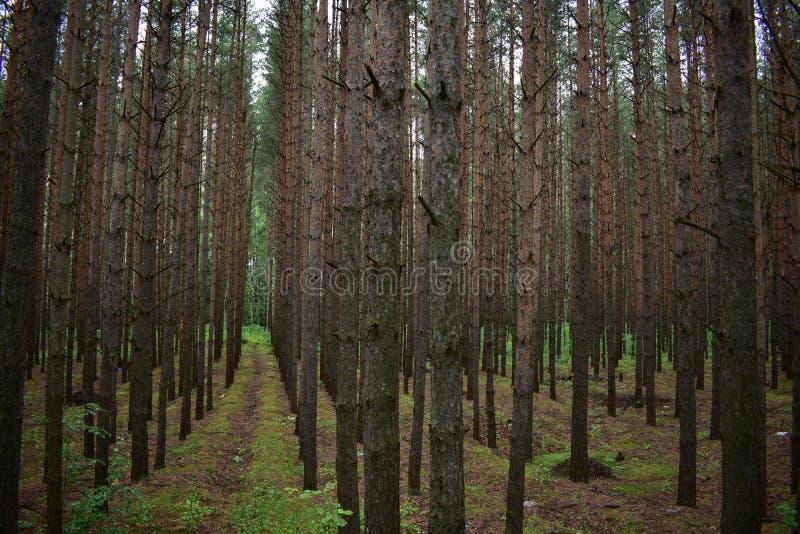 Сосновый лес самые светлые всех типов лесов стоковые изображения rf