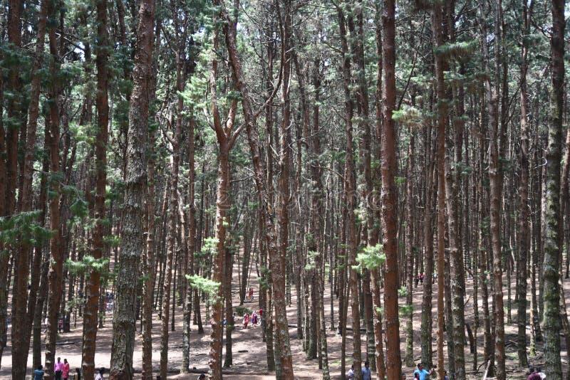 Сосновый лес Kodaikanal, Tamil Nadu стоковое изображение rf