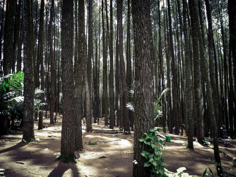 Сосновый лес, Yogyakarta, Индонезия стоковые фото