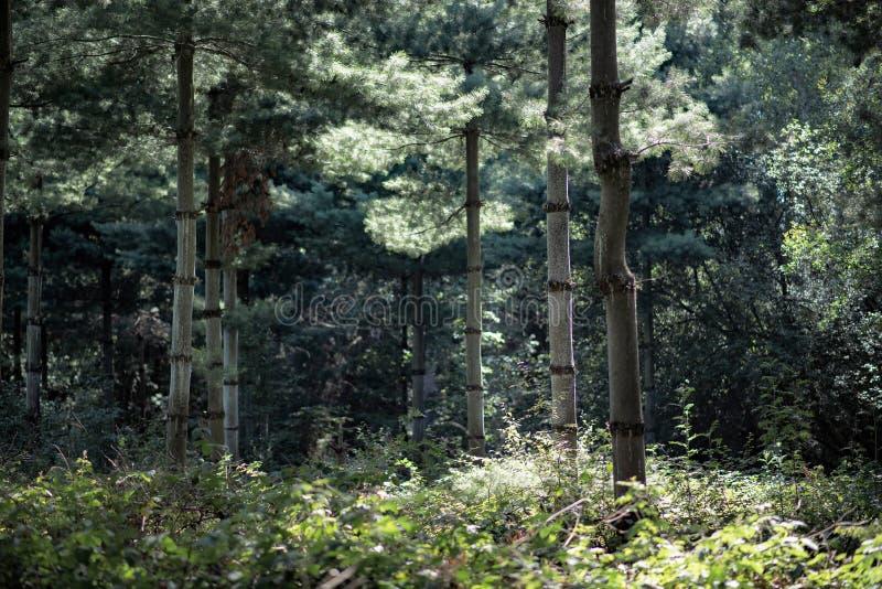 Сосны в плотном лесе лета стоковая фотография rf