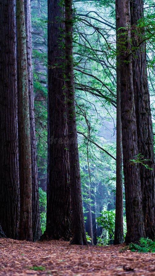 Сосны в туманном лесе стоковые изображения