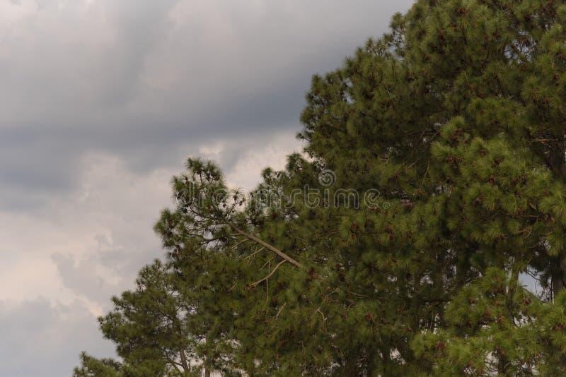 Сосны и облачный день стоковая фотография rf