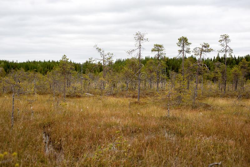 Сосны карлика в болоте стоковое фото