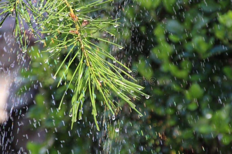 Сосны под радугой стоковая фотография rf