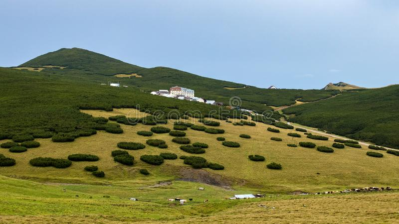 Сосны проползать на плато гор Bucegi стоковые изображения rf