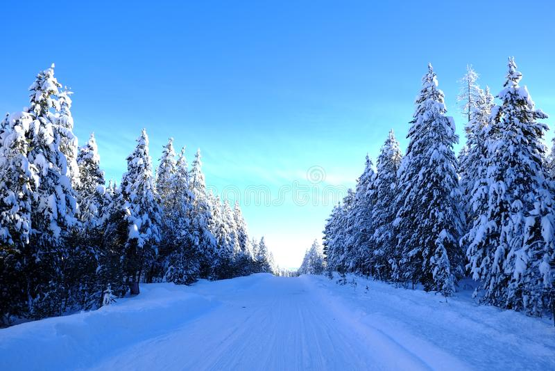 Сосны Snowy леса зимы с небом солнечности голубым стоковая фотография