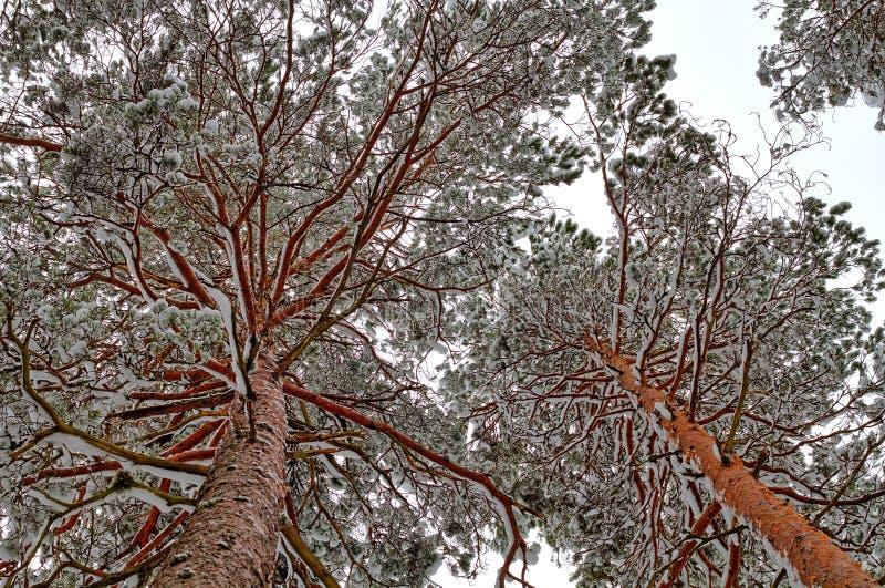 Сосны Snowy стоковые фотографии rf