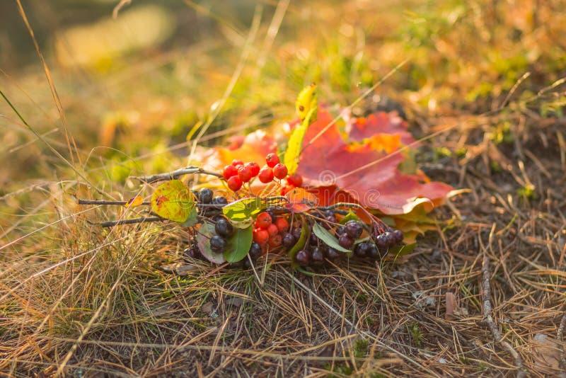 Состав от яркой пестротканой упаденных осенью ветвей листьев и ягод рябины с листьями, с красное зрелым стоковое фото