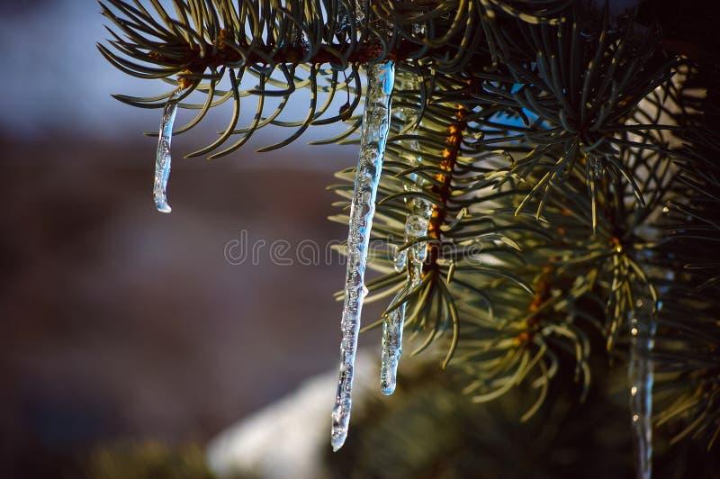 сосульки на деревьях во время плавить и после этого снова замерзать стоковое фото rf