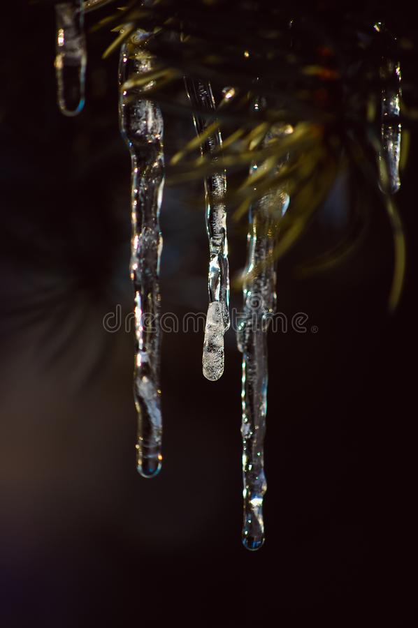 сосульки на деревьях во время плавить и после этого снова замерзать стоковая фотография rf