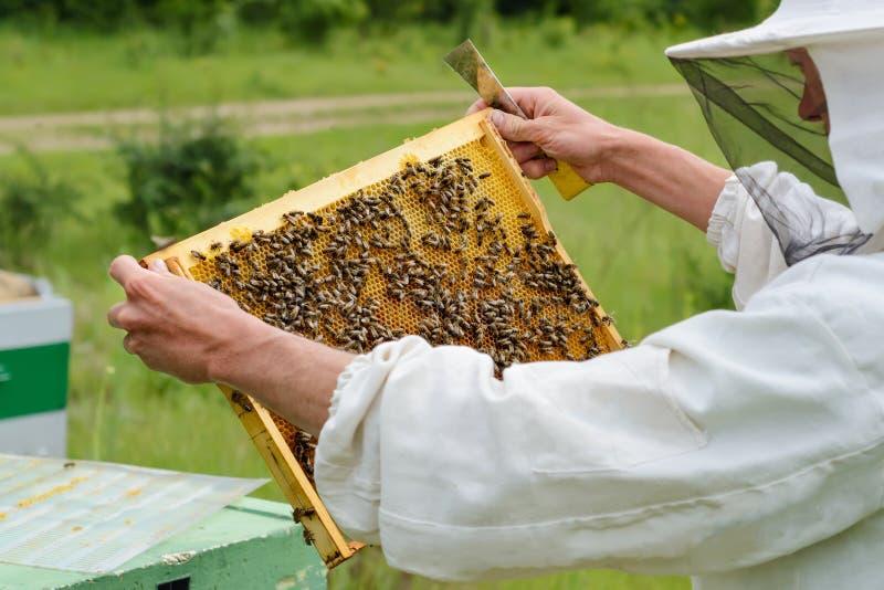 Сот Beekeeper принимает вне от сота крапивницы заполненного с свежим медом Apiculture стоковое фото rf