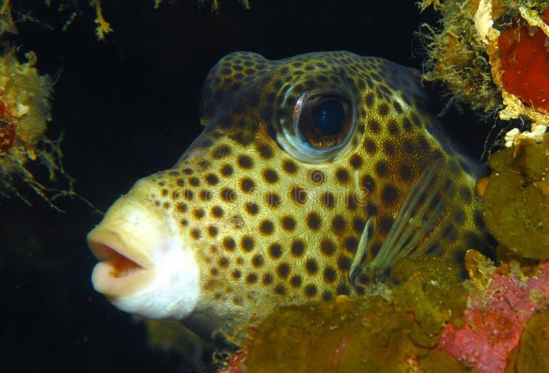сот cowfish стоковые изображения rf